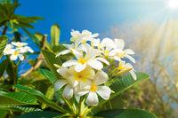 White flowers on plumeria tree