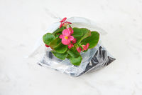 Evergreen houseplant in blossom in a plastic bag on a marble grey background.