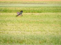 Sparrow hawk in flight hunting