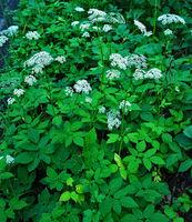 Gewöhnlicher Giersch, Aegopodium podagraria, bishop's goutweed;