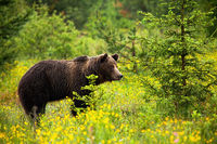 Dangerous male brown bear observing its territory on a blossoming meadow
