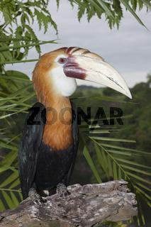 Papua-Hornvogel, Papua Neuguinea