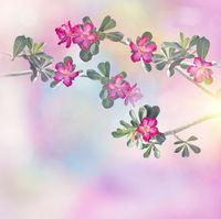 Desert Rose, Adenium tree, with pink flowers
