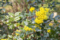 Gewöhnliche Mahonie, mahonia or oregon grape, Mahonia aquifolium