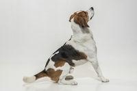 Beagle vor weißem Hintergrund