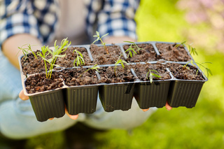 woman holding pots tray with seedlings at garden