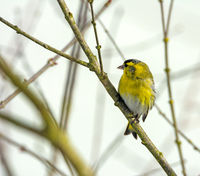 Male siskin bird sitting on the brach of a tree