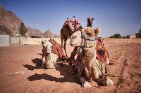 Kamele in Jordanien