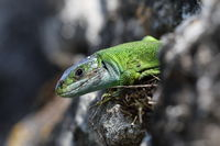 Western Green Lizard (Lacerta bilineata)  sits in a dry stone wall Germany