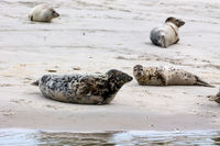 Seehunde (Phoca vitulina) und Kegelrobben (Halichoerus grypus)
