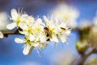 Apfelbluete und die Biene