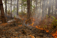 A line of fire of small flames burn through a fuel of old leafs and small plants on a forest floor.