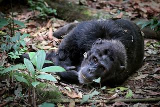 Schimpanse im Kibale National Park Uganda (Pan troglodytes) | chimpanzee at Kibale National Park Uganda (Pan troglodytes)