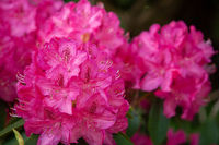 Rhododendron flowers close in the sunlight. Background of flowers.