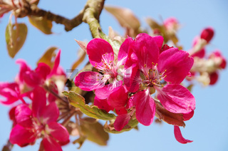 Apfelblüte - apple blossom 09