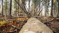 Felling Natural forest of spruce and deciduous.