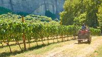 Working traktor at vineyard