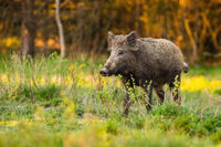 Alert wild boar standing on glade with fresh growing grass in spring at sunrise