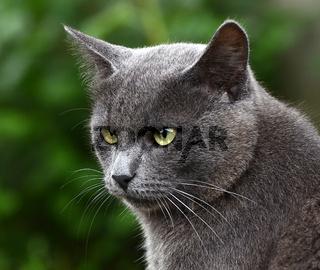 Close up portrait of grey kitten