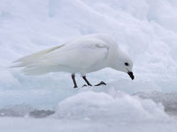snow petrel sitting on an ice floe