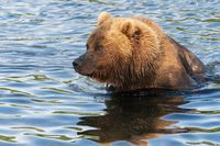 Portrait of Kamchatka brown bear in river. Wild terrible beast fishing red salmon fish during spawning
