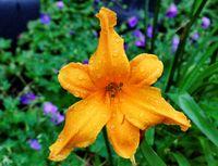 gelbe Lilie mit Wassertropfen
