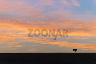 Acacia tree at sunrise in the savannah