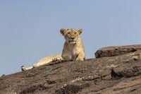 Lioness resting on a rock, Maasai Mara National Reserve, Kenya, Africa