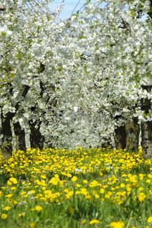 Apflelbaumblüte