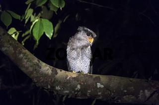 Malayen-Uhu (Bubo sumatranus), Sabah, Borneo, Malaysia