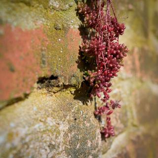 Überlebenskampf von Mauerpfeffer (Sedum brevifolium DC.) an einer Wand