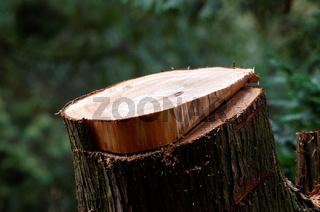 Stumpf eines gefällten Baumes im Wald