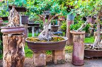 Bonsai trees in old pots in oriental garden