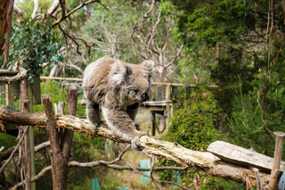 Koala on wooden pole in Koala Conservation center in Cowes, Phillip Island, Victoria, Australia