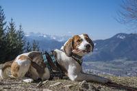 Beagle auf der Denkalm