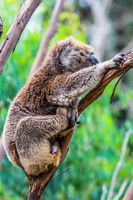 The brown koala