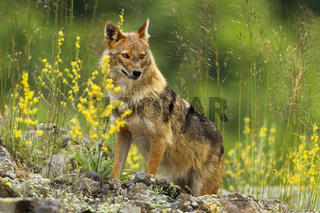 Shy golden jackal looking away on a hot summer day.