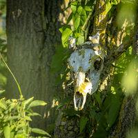 Alter ausgebleichter Rehschädel mit Moos bewachsen, hängt an einem Baum mit Textfreiraum