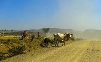 Rinder überqueren eine staubige Landstrasse im Hochland von Abessinien, Tigray, Äthiopien