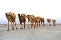 Mit Steinsalz beladene Dromedare einer Karawane überqueren den Assale Salzsee auf dem Weg zum Markt