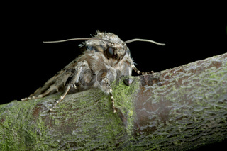 Moths face as it sits on a tree branch