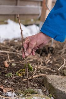 Setzling von Weinrebe wird für Weinbau von Gärtner gepflanzt