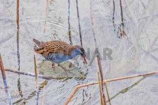 Wasserralle 'Rallus aquaticus'