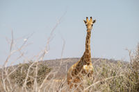 tall giraffe looking
