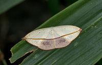 Auzeinae, family Uraniidae, Moth, Garo Hills, Meghalaya, India