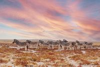 herd of Zebra in african bush