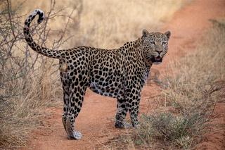 Leopard at Kgalagadi national park, Namibia