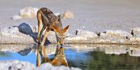 Trinkender Schabrackenschakal, Kgalagadi-Transfrontier-Nationalpark, Südafrika, (Canis mesomelas)