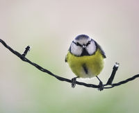 blue tit on a wire