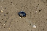 common Periwinkle,North Frisia,North Sea,Schleswig-Holstein,Germany